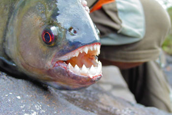 Council confirms piranha carcasses found in local lake image