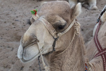 Council defends camel parade in wake of petition image