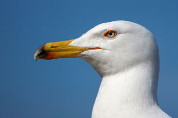 Councils struggle to tackle nuisance urban gulls image