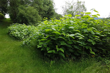 Japanese knotweed: New advice to tackle a growing problem image