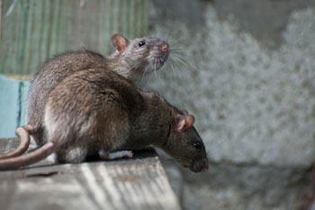 Lockdown causing rat populations to surge in inner city residential areas image